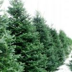 How to Choose the Ideal Live Christmas Trees