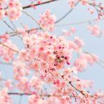 The Many Types of Cherry Trees